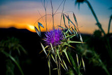 Cynara Cardunculus At Sunset I...