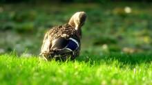 Beautiful Duck On The Grass Closeup