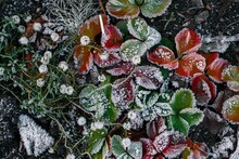 Vivid Frozen Strawberry Leaves In The Garden