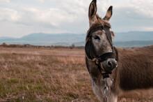 Grazing Donkey In The Field
