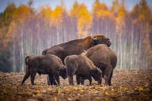 Impressive Giant Wild Bison G...