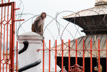 Monkey Sitting On A Fence With A Barbed Wire Against Buddhists Temple