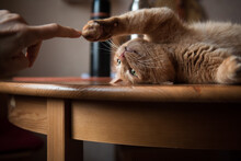 Cute Ginger Cat Playing On The...