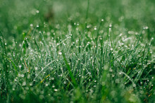 Dew Drops On The Fresh Grass I...