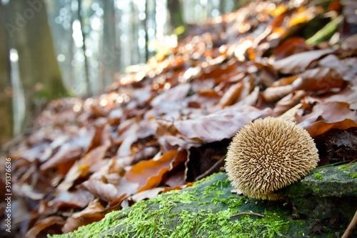 Tela Common puffball mushroom on a hillside in the autumn forest - Lycoperdon perlatu