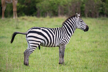 Zebras In The Middle Of The Savannah Of Kenya