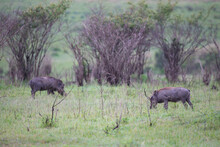 Warthogs Are Grazing In The Sa...