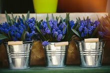 Grape Hyacinth Muscari Flowers...