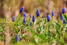 Muscari Flowers In The Garden