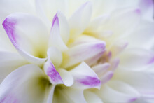Macro Of Pure White Flower With Purple Details In Soft Background