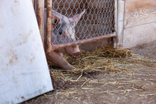 A Live Pig Looks Out From Its ...