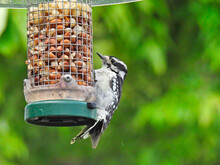 Woodpecker On A Feeder: Downy Woodpecker Bird Clings To The Side Of A Bird Feeder Holding Peanuts With Green Foliage In The Background