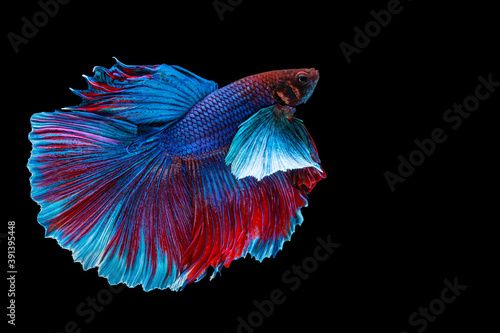 Valokuva Halfmoon Betta splendens fighting fish in Thailand on isolated black background