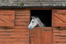 White Horse In A Stable Looking Out Over Half Open Dutch Door.