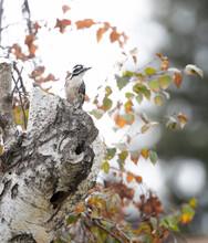 Female Ladder Backed  Or Nuttalls Woodpecker On A Birch Tree