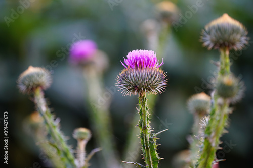 Fotografie, Obraz Selective focus shot of Scotch Thistles in the greenery