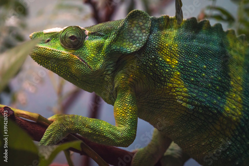 Canvastavla Closeup shot of a chameleon on a tree branch