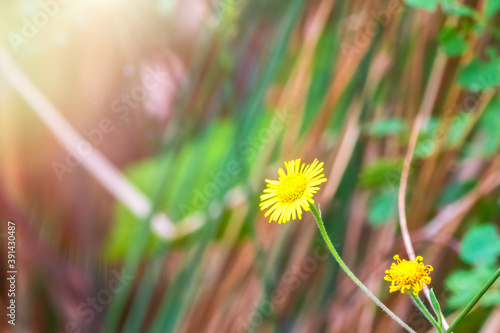 Fototapeta Close-up of Sonchus asper, also commonly known as the prickly sow-thistle, rough