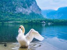 白鳥とハルシュタット...