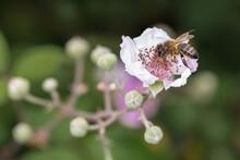 Closeup Of A Bee Sucking Necta...