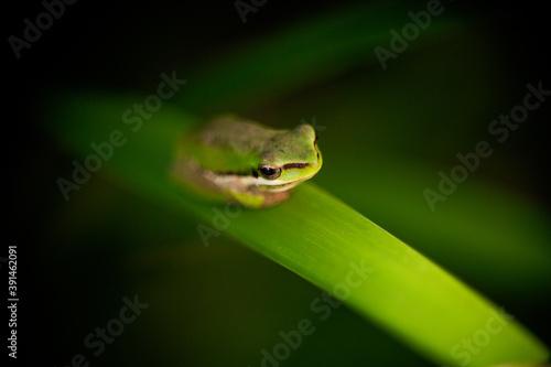 queensland sedge frog Fototapet