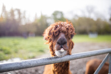 Brown Alpaca Behind A Fence Looking Directly At The Camera