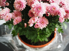 Many Pink Chrysanthemum Buds I...