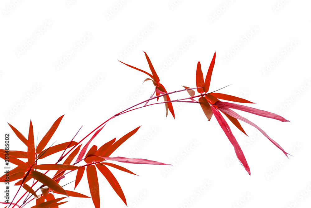 Fototapeta Bambou rouge sur fond blanc