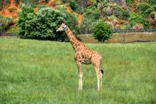 Giraffe In The Grass