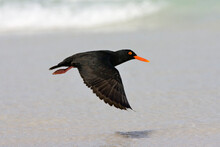 African Black Oystercatcher, H...
