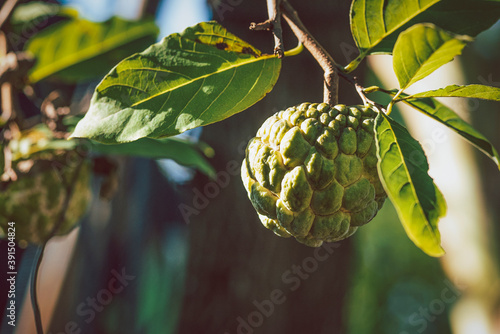 custard apple is big and fresh in the morning. Wallpaper Mural