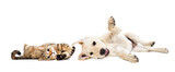 Fototapeta Zwierzęta - Playful cat scottish straight and labrador puppy lying together isolated on white background