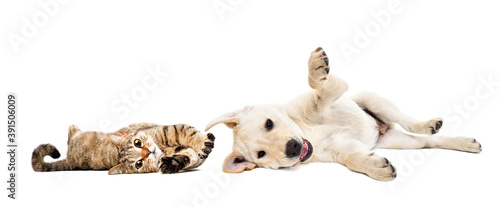 Playful cat scottish straight and labrador puppy lying together isolated on whit Billede på lærred