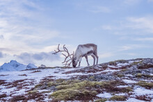 One Reindeer With Antlers Eating Grass.
