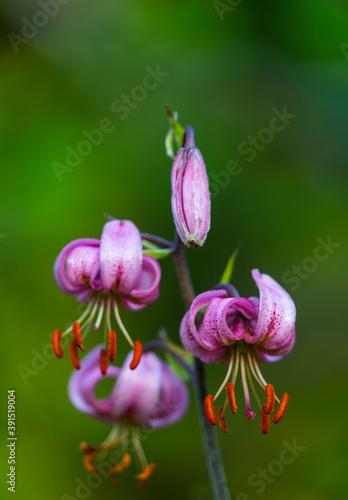 MARTAGON, AZUCENA SILVESTRE (Lilium martagon), Gargantas de Escuain, Ordesa y Monte Perdido National Park, Huesca, Aragon, Spain, Europe