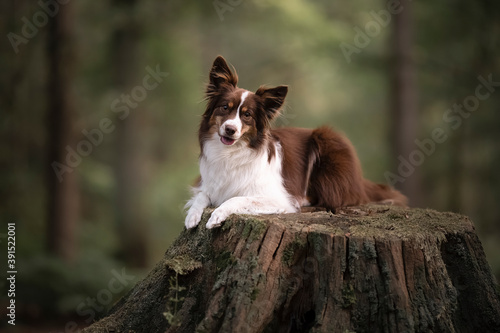 Cute miniature shepherd lying on a tree stem with forest in the background looki Fotobehang