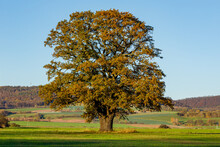 Old Oak In The Autumn Time