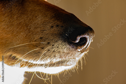 Closeup shot of a dogs nose and whiskers Wallpaper Mural