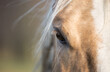 Horse head - Close up portrait of a horse - Eyes shut - relaxed - American Quarter Horse
