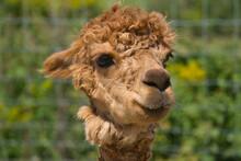 Portrait Of A Brown Alpaca In ...