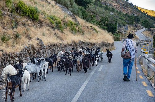 Shepherd with his flock of sheep on the road Fototapet
