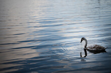 Black Swan On The Lake