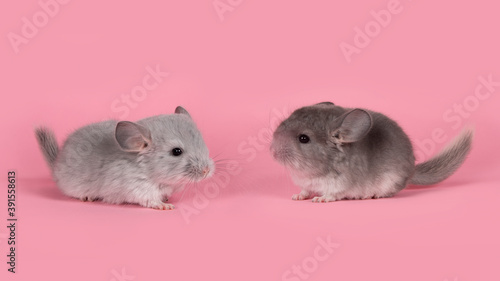 Canvas Print Two cute gray baby chinchillas seen from the side looking towards each other on