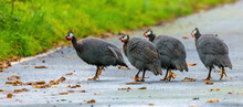 Guinea Fowl In The UK