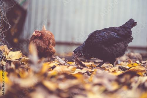 Vászonkép Hens walking in the paddock