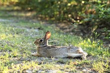An Eastern Cottontail Lying On...
