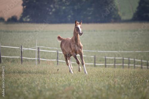 foal running Canvas