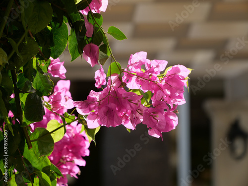 Vászonkép Selective focus shot of pink bougainvillea flowers on a tree