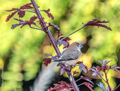 Oiseau bec de plomb sur branche rouge Fototapet