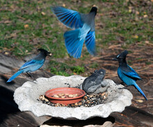 Steller's Jays Feeding From Bird Bath Filled With Seeds.